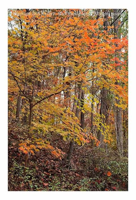 Fall Foilage Maple Tree NCR Trail