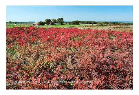 Field of sumac near The Angle at the Gettysburg Battlefield