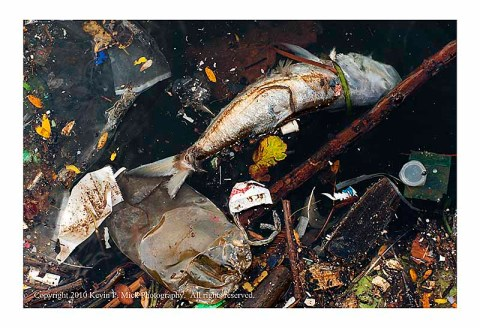 Dead fish among debris in water