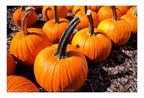 Rows of small pumpkins