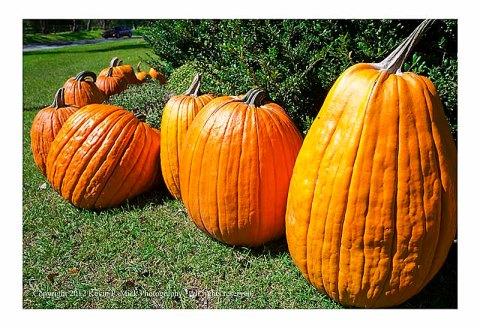 Unusually tall pumpkin