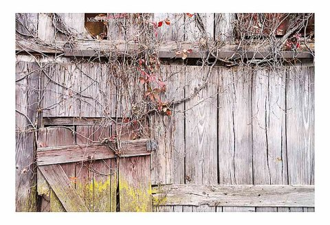 Weathered siding and vines