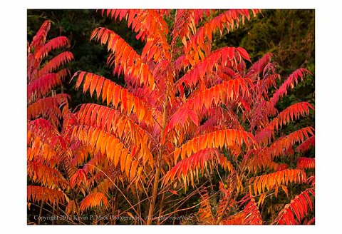 Sumac leaves in fall