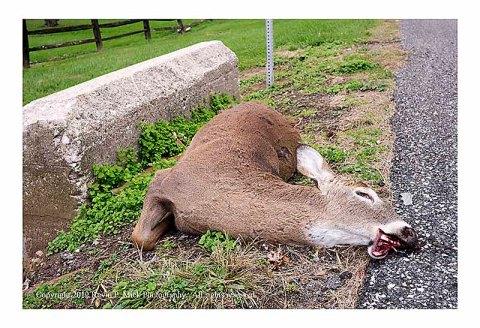 Dead deer lying by the road
