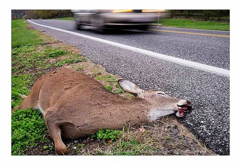 Dead deer lying beside the road as a car speeds past