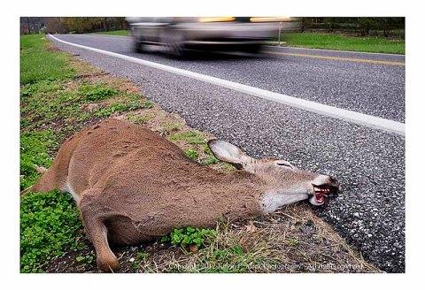 Dead deer lying beside the road as a car speeds past