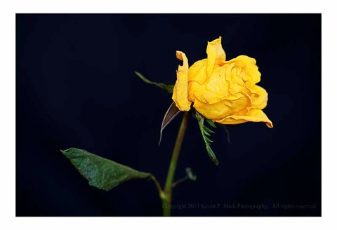 Dried yellow rose past its prime.