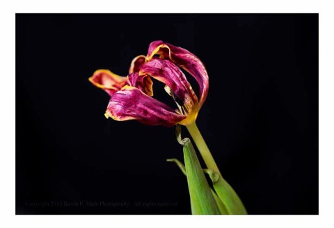 Dried old magenta tulip.