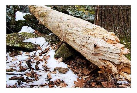 Broken, downed tree at Cunningham Falls.