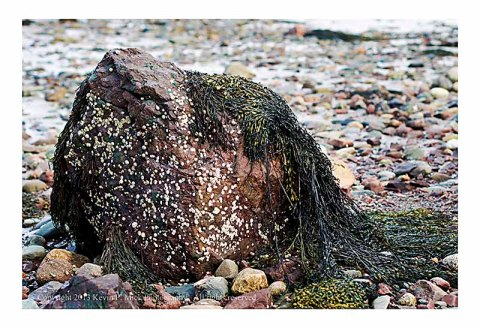 Rock, barnacles, and seaweed on beach.