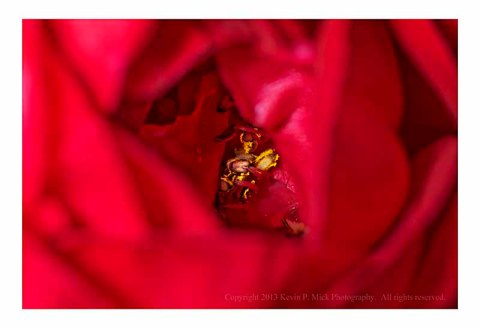 Closeup of the pistil and stamen in the interior of a rose.