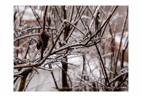 Icy branches after storm