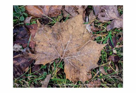 Maple leaf on ground with light frost.
