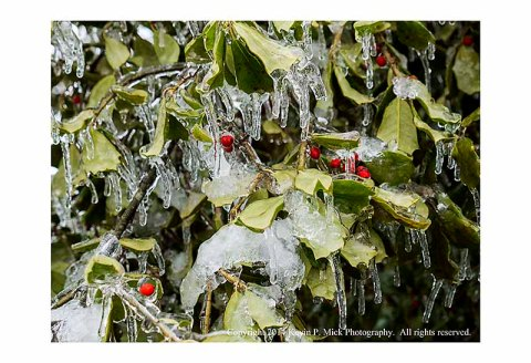 Holly tree and snow and ice.