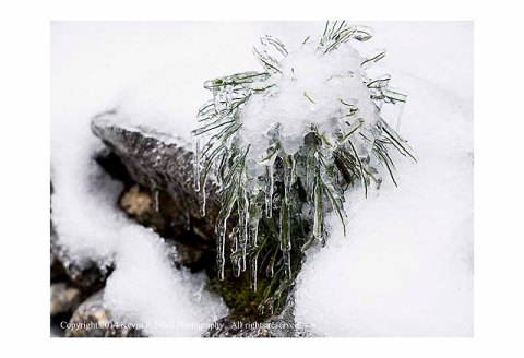 Pine sapling coated in ice.