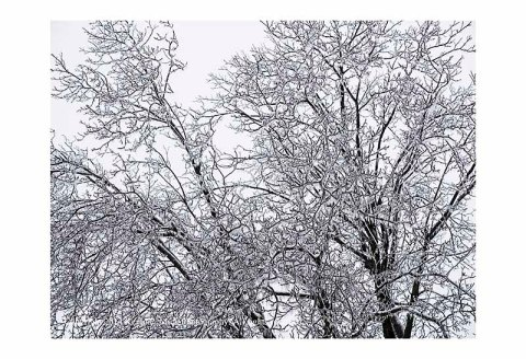 Walnut tree coated with ice.