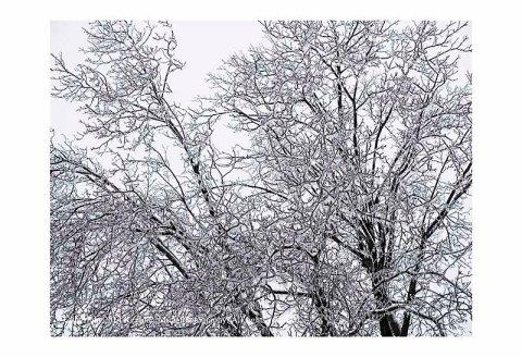 Walnut tree coated with ice.