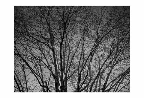 Black and white image of a maple tree at dusk.