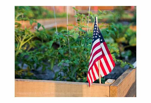 United States flag in a garden with tomato plants as background.