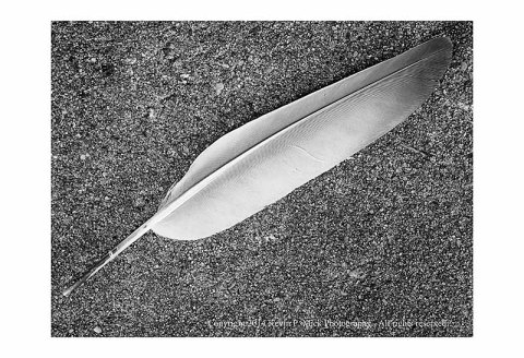 Diagonal photograph of a white and grey seagull feather laying on a sidewalk.