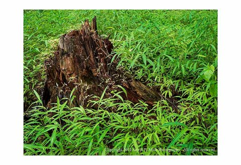 Tree stump surrounded by grasses.