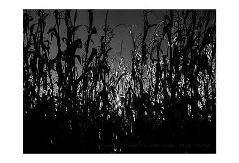 BW photograph of corn stalks that are in shadow in the forground and lit by the afternoon sun in the background.