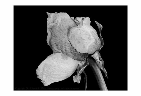 BW photograph of an old yellow rose.