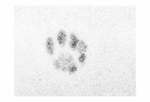 BW photograph of a single squirrel paw print in snow.
