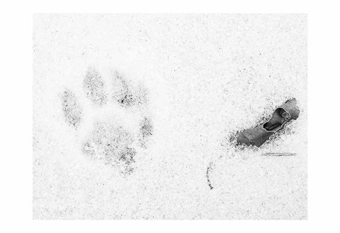 BW Photograph of a single squirrel paw print and a leaf in the snow.
