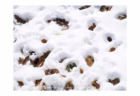 Autumn leaves melting into the snow bank.