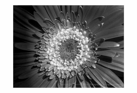 BW photograph of an orange and yellow daisy.