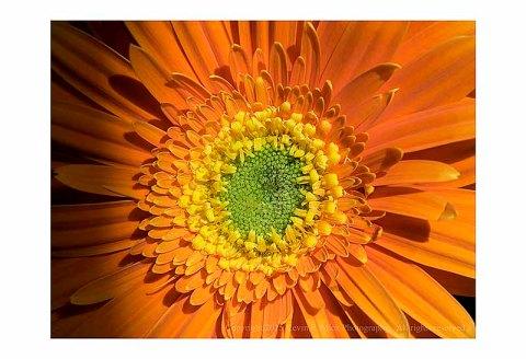 A daisy.