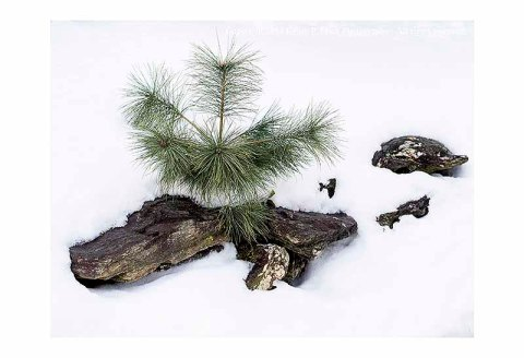 Small pine tree and some rocks in the snow.