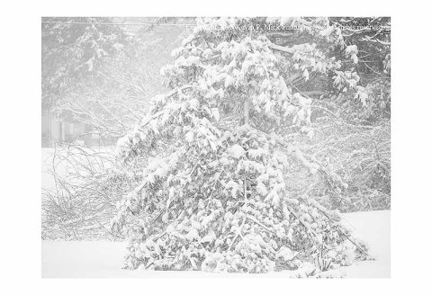 BW photograph of pine trees in a heavy snow storm.