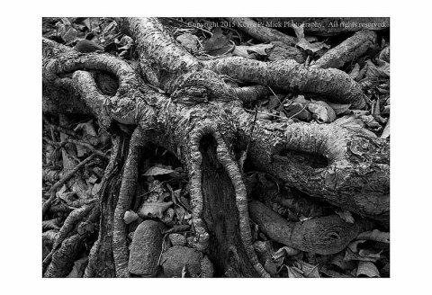 BW photograph of a knarled tree root.