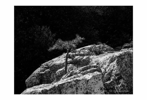 BW photograph of a small pine tree growing out of rocks on a sunny day
