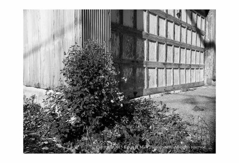 BW photograph of a bush at the corner of an old garage door