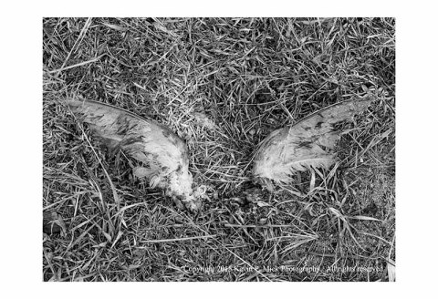 BW photograph of a pair of bird wings without the body laying on the ground