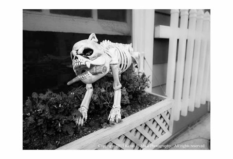 BW photograph of a dog skeleton displayed for Halloween