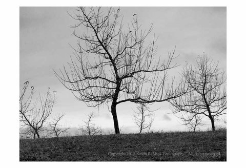 BW photograph of the Peach Orchard on the Gettysburg Battlefield