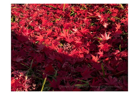 Red leaves that have fallen to the ground
