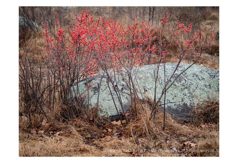 Bright red berries against a lichen-covered rock