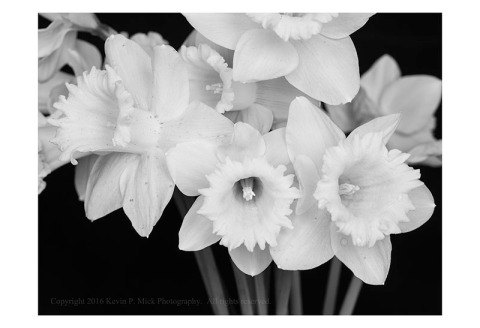 BW photograph of a bunch of daffodils in a vase.