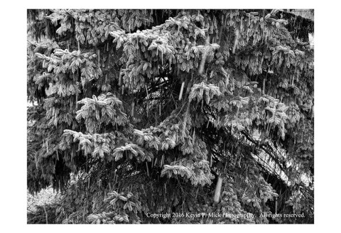 BW photograph of a pine tree with snow falling.