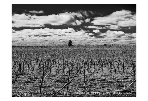 BW photograph of a chopped corn field under a cloudy sky with a lone pine tree in the distance.