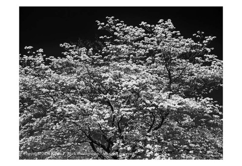 BW photograph of a flowering tree.