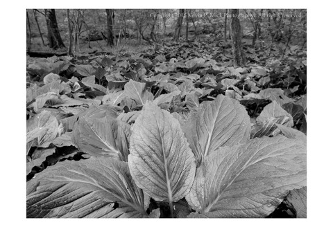 BW photograph of abundant leaves after a long rain.