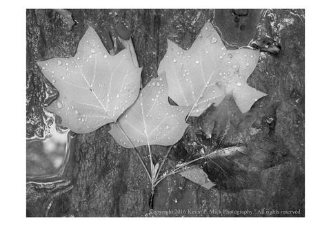 BW photograph of four leaves atop a rock after a rain.