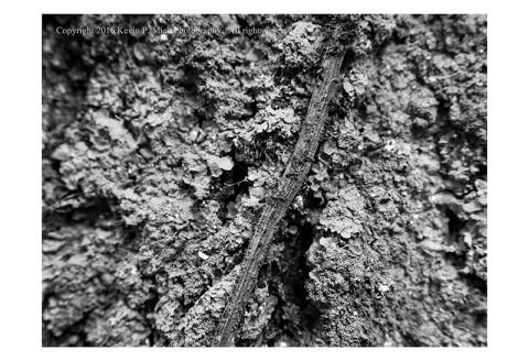 BW photograph of a thin vine bisecting a some fungi on a tree.