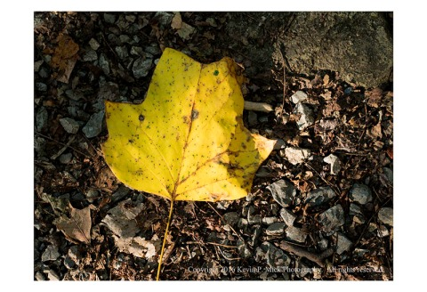 Poplar leaf in autumn colour laying on the ground with strong side light.